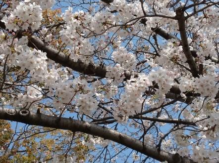 蟹江町の桜と鯉のぼり